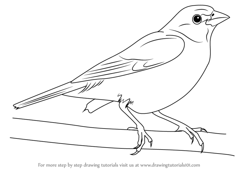 Learn How to Draw a Painted Bunting