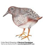 How to Draw Pectoral Sandpiper