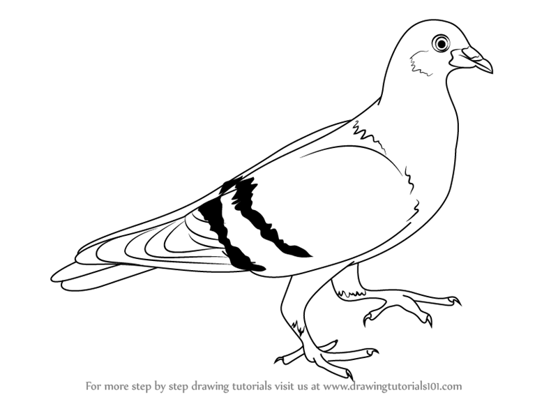 Learn How To Draw A Pigeon Birds Step By Step Drawing Tutorials