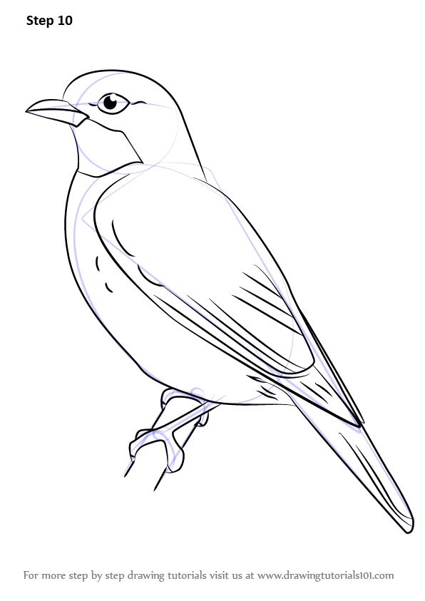 Learn How To Draw A Plum Throated Cotinga Birds Step By