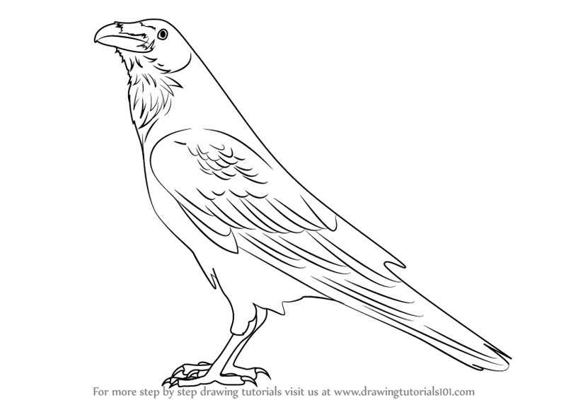 Line Drawing Raven : Learn how to draw a raven birds step by drawing