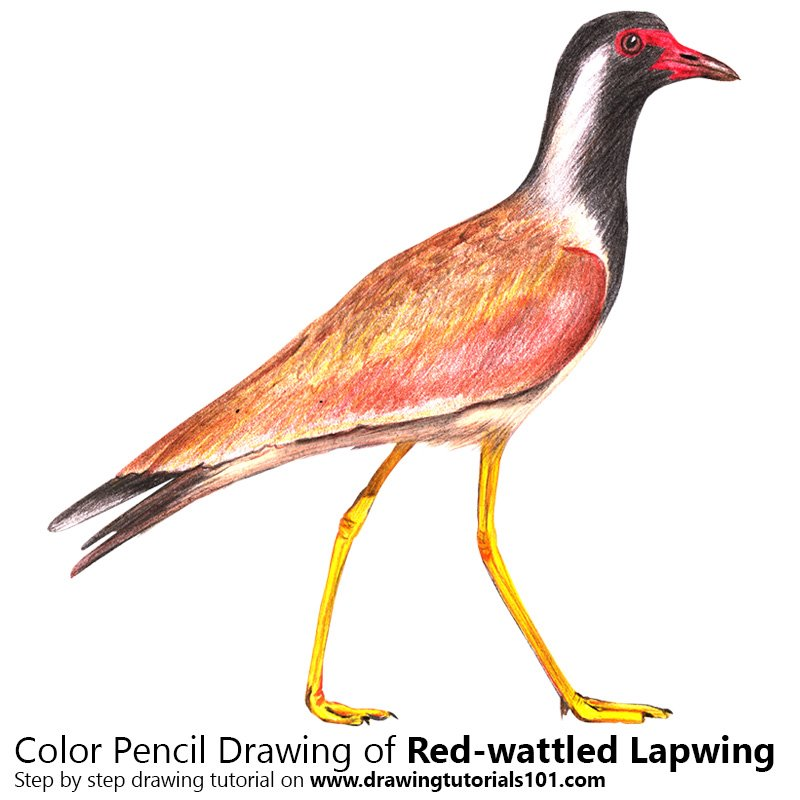 Red-wattled Lapwing Color Pencil Drawing