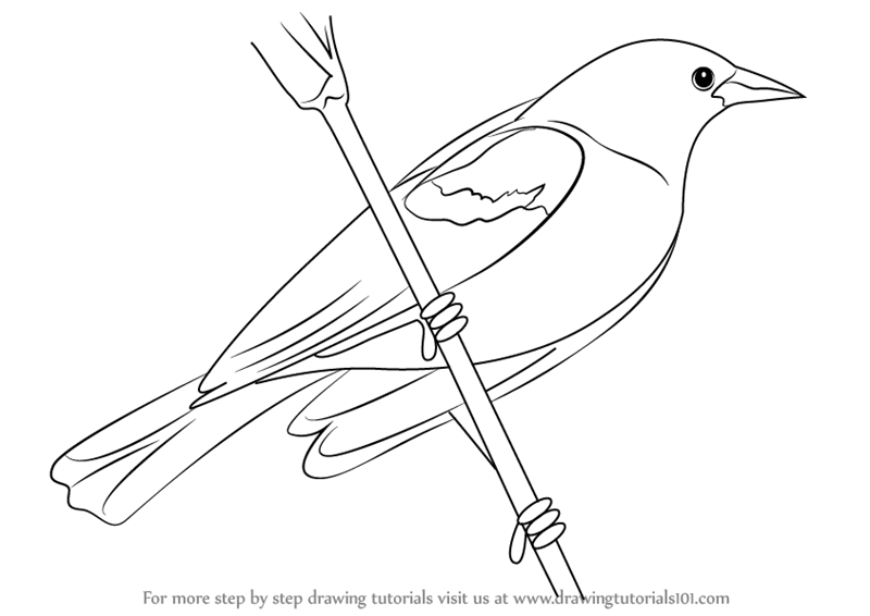 Learn How to Draw a Red-Winged Blackbird (Birds) Step by ...