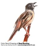 How to Draw a Reed Bunting