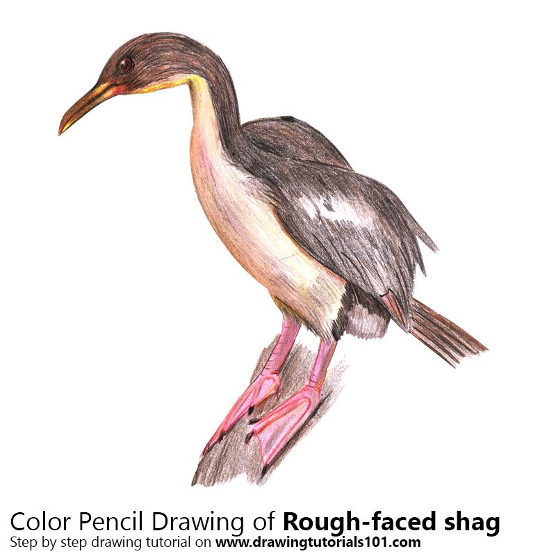 Rough-faced shag Color Pencil Drawing