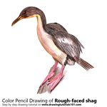 How to Draw a Rough-faced shag