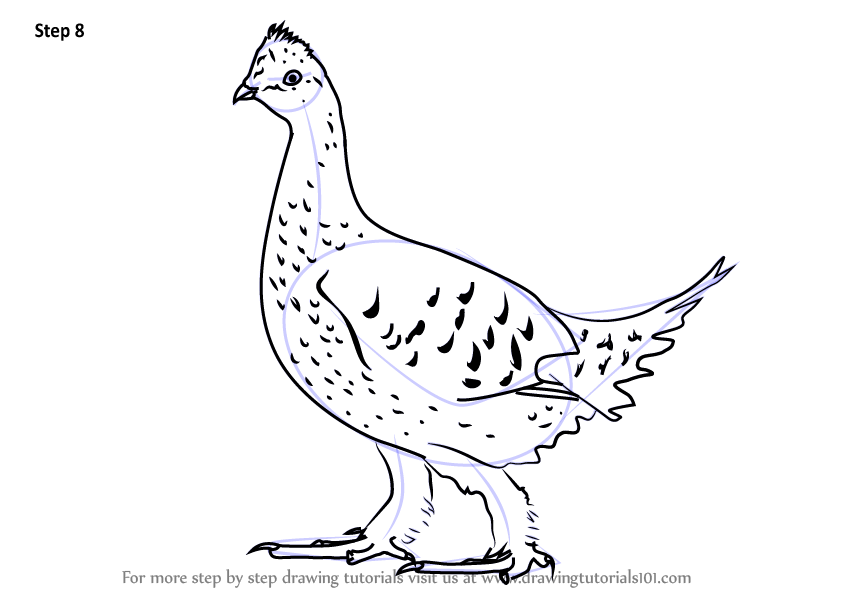 Learn How To Draw A Sharp Tailed Grouse Birds Step By