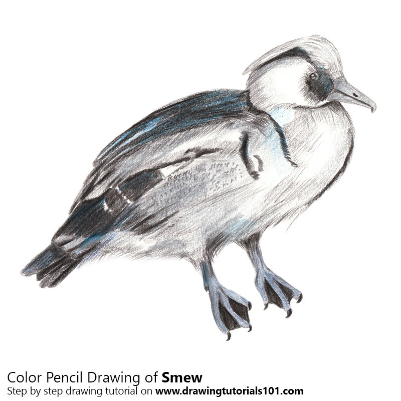 Smew Color Pencil Drawing