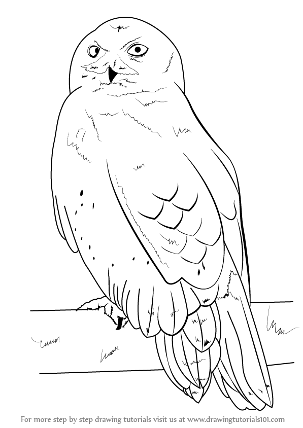Learn how to draw a snowy owl birds step by step for Draw an owl in two steps