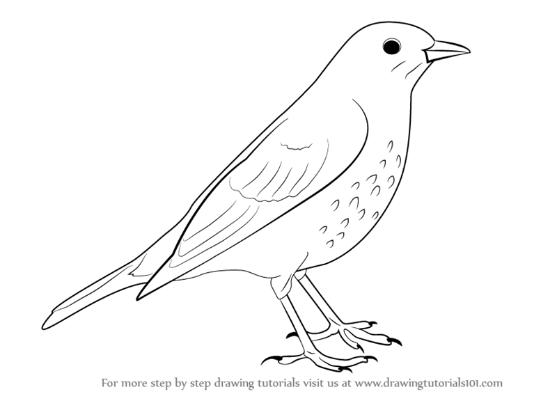 Learn How to Draw a Song Thrush (Birds) Step by Step ...