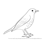How to Draw a Song Thrush