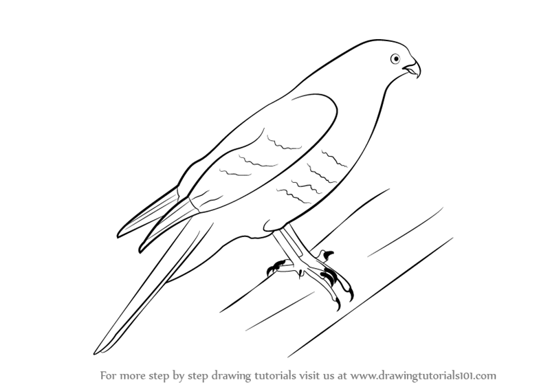 Learn How to Draw a Sparrowhawk (Birds) Step by Step ...
