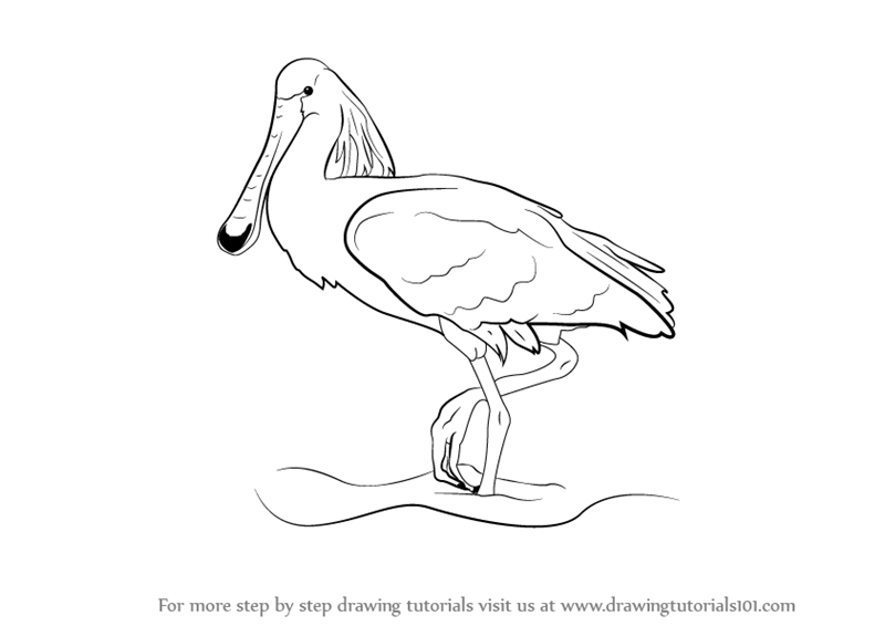 Step by Step How to Draw a Spoonbill