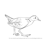 How to Draw a Spotted Crake!