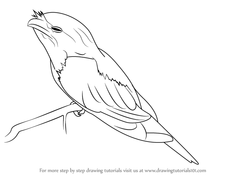 Tawny Frogmouth Pages Coloring