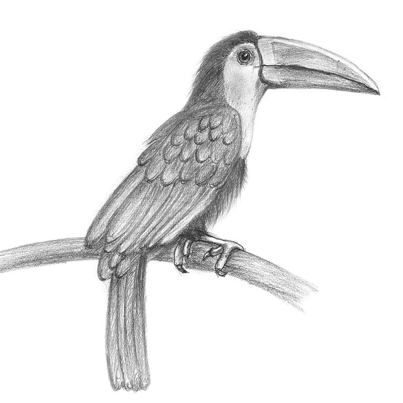 Toucan Bird Drawing Toucan Pencil Drawing ...