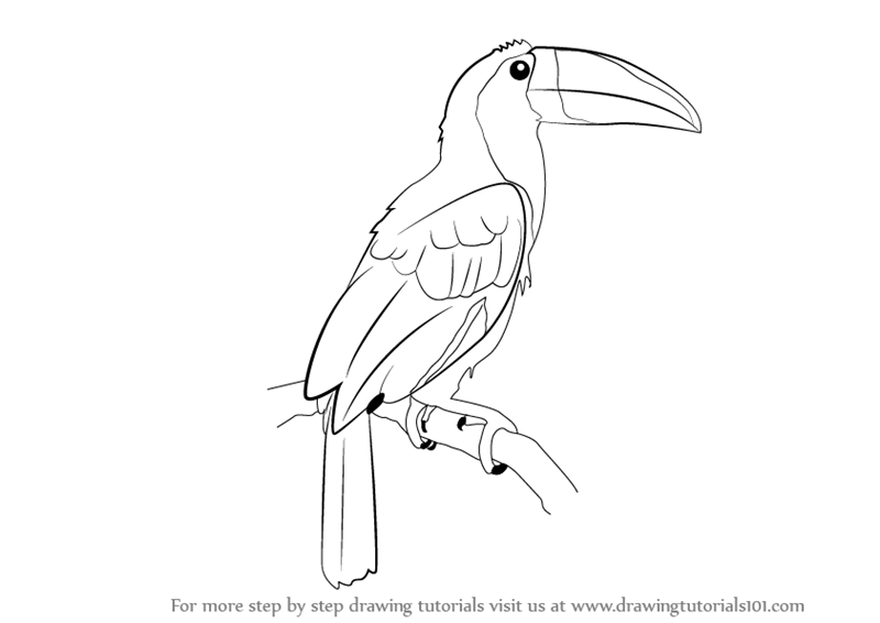 Toucan Bird Drawing Learn How to Draw a To...