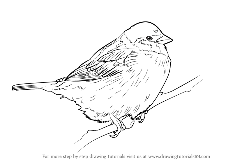 Learn How To Draw A Tree Sparrow Birds Step By Step