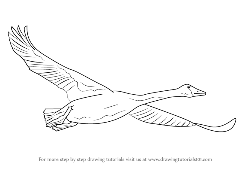 learn how to draw trumpeter swan in flight birds step by step drawing tutorials