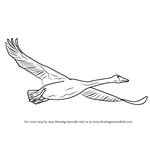 How to Draw Trumpeter Swan in Flight