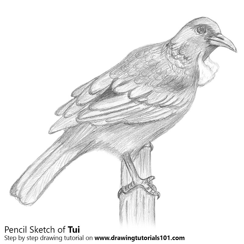 Tui bird pencil drawing how to sketch tui bird using pencils drawingtutorials101 com