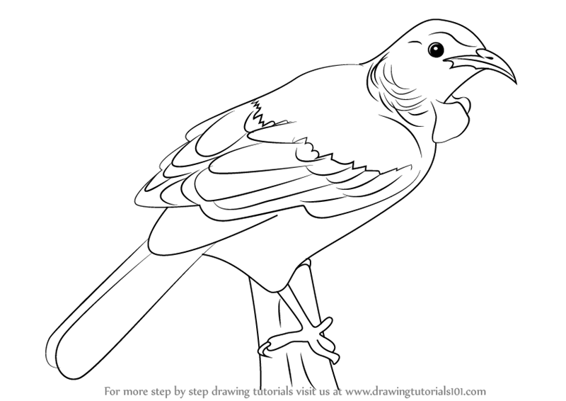 Learn how to draw a tui bird birds step by step drawing tutorials