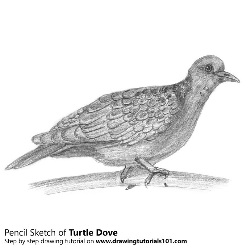 Turtle Dove Pencil Drawing - How to Sketch Turtle Dove using Pencils ...