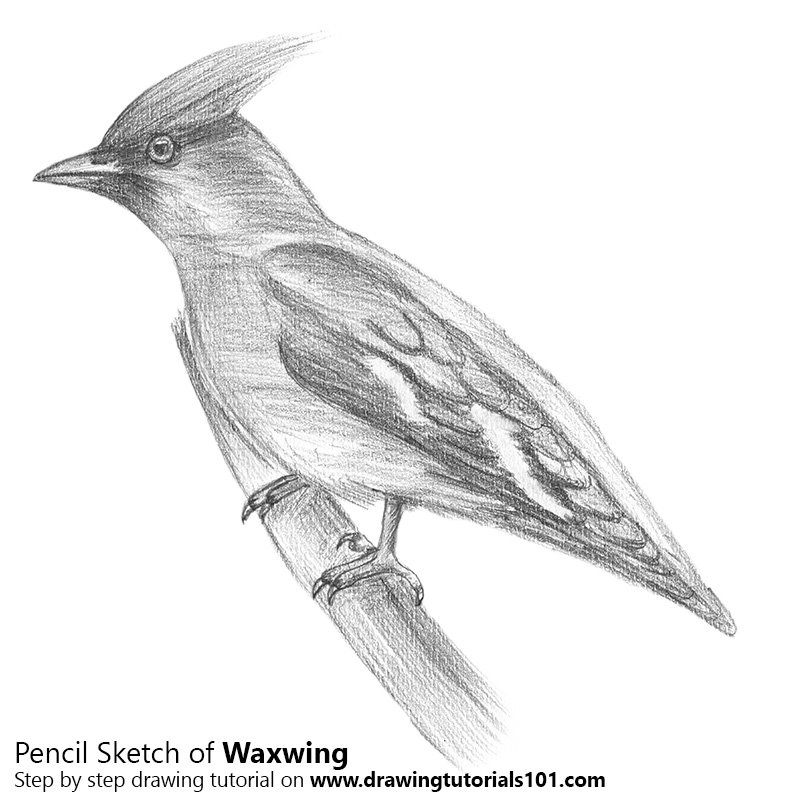 Pencil Sketch of Waxwing - Pencil Drawing