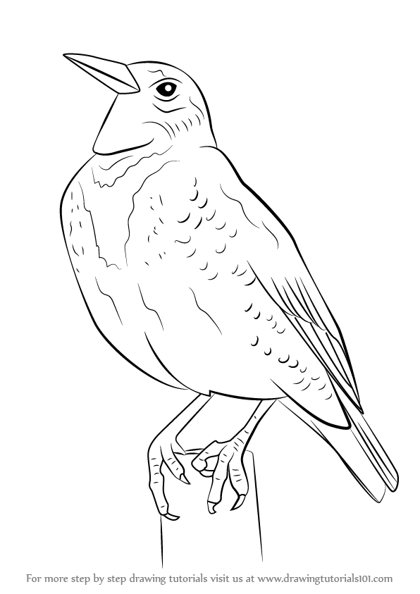 Learn how to draw a western meadowlark birds step by for Meadowlark coloring page