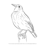 How to Draw a Western Meadowlark