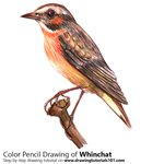 How to Draw a Whinchat