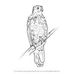 How to Draw a Whistling Kite