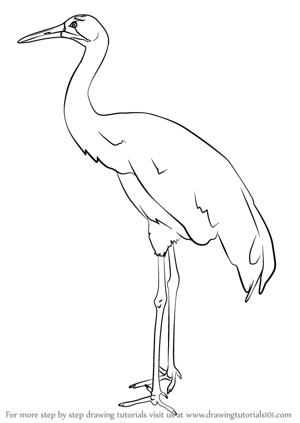 Learn how to draw a whooping crane birds step by step for How to draw a crane step by step