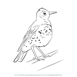 How to Draw a Wood Thrush