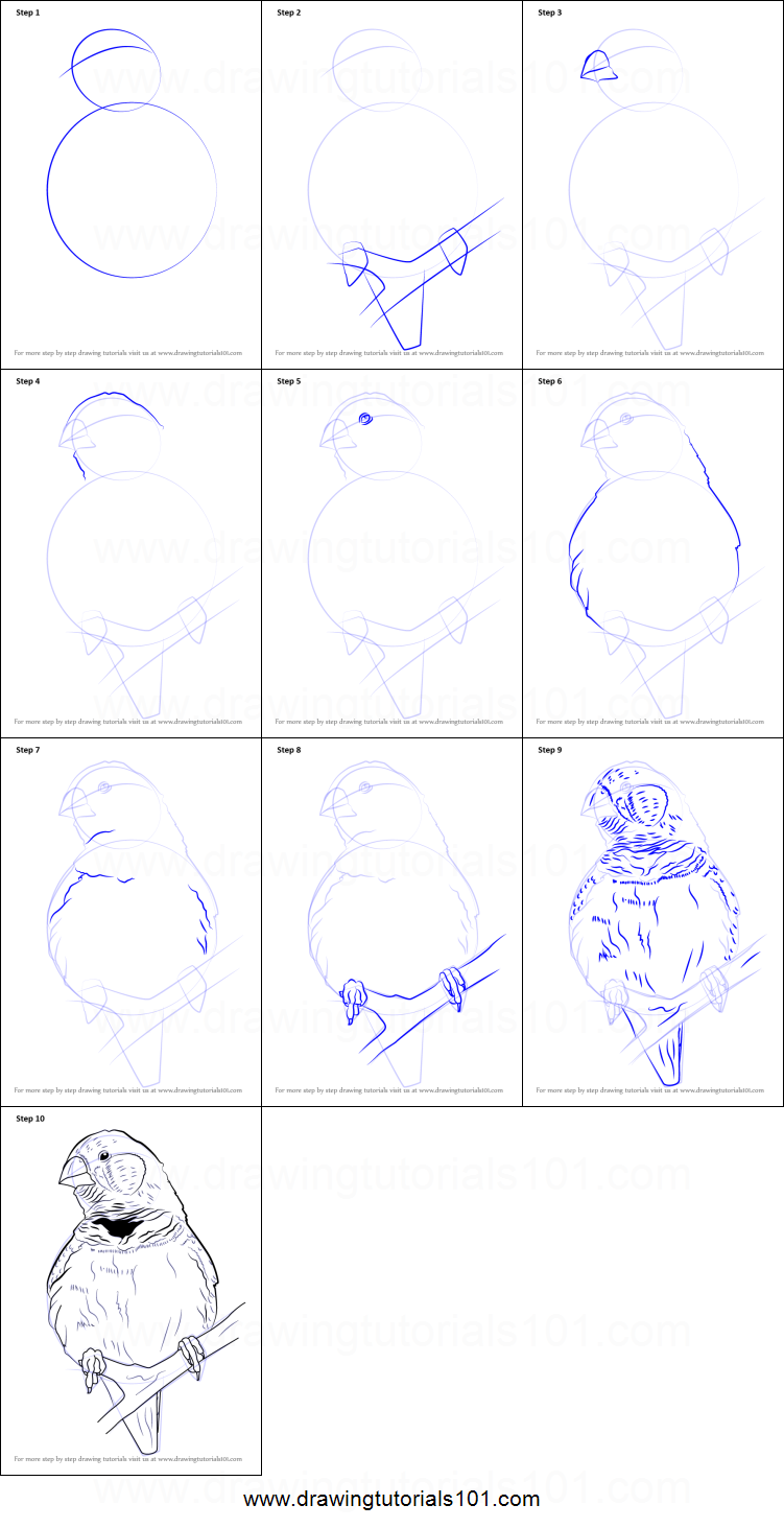 how to draw a zebra finch printable step by step drawing sheet