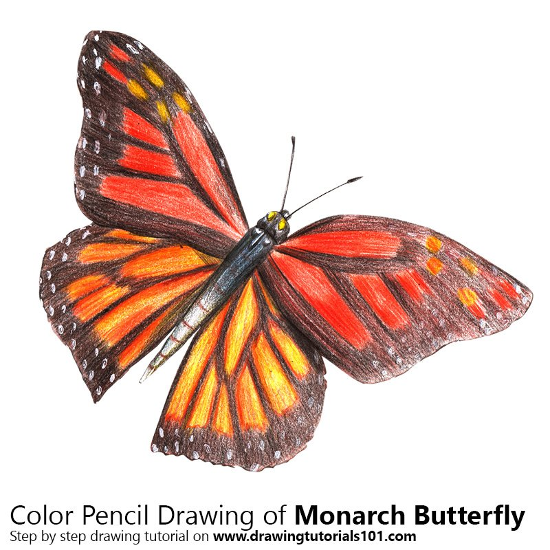 monarch butterfly colored pencils drawing monarch butterfly with