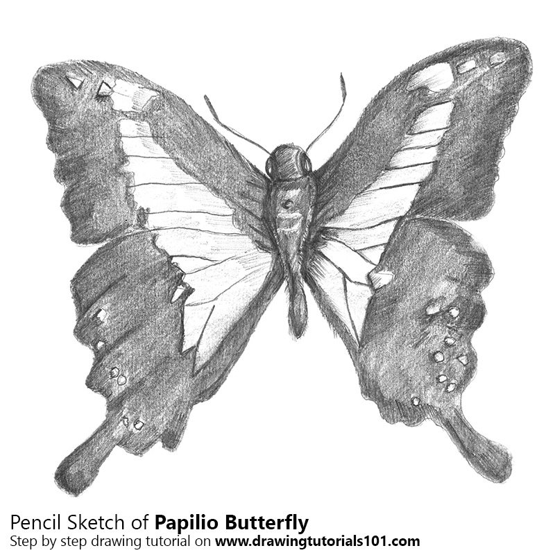 Papilio butterfly pencil drawing how to sketch papilio butterfly using pencils drawingtutorials101 com