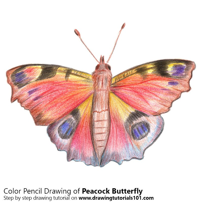 Peacock Butterfly Color Pencil Drawing