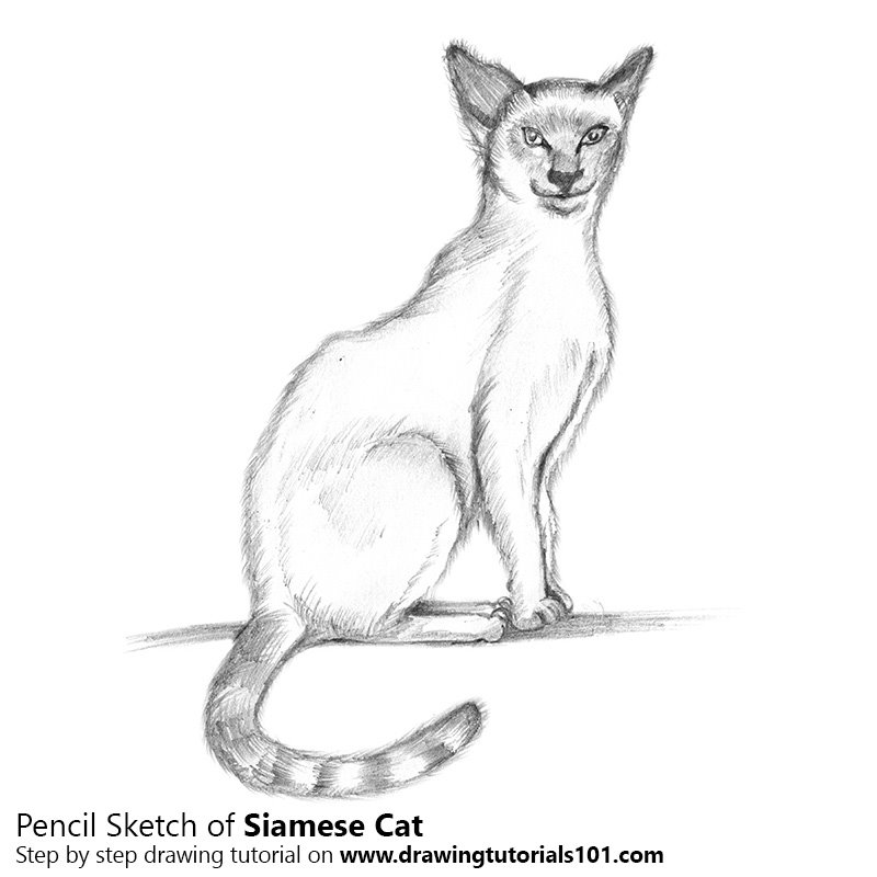 Siamese cat pencil drawing how to sketch siamese cat using pencils drawingtutorials101 com