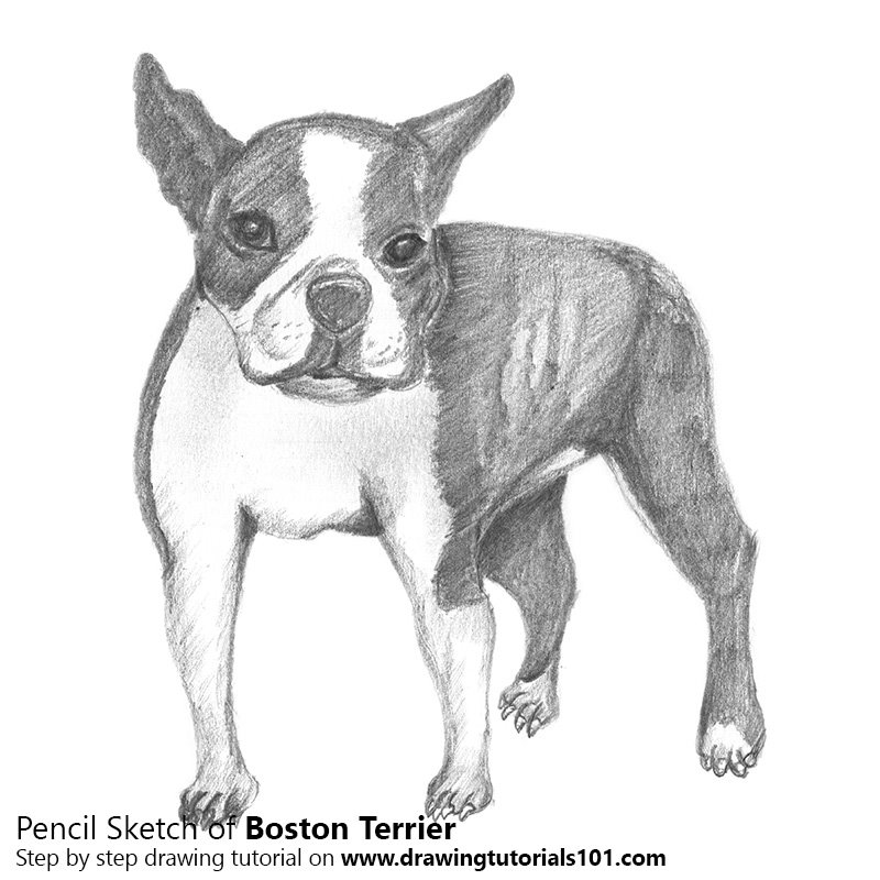 boston terrier drawings boston terrier pencil drawing how to sketch boston 1891