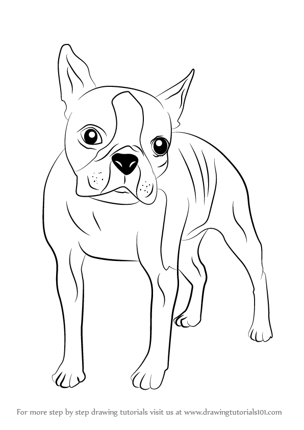 Learn How To Draw A Boston Terrier Dogs Step By Step Boston Terrier Coloring Pages