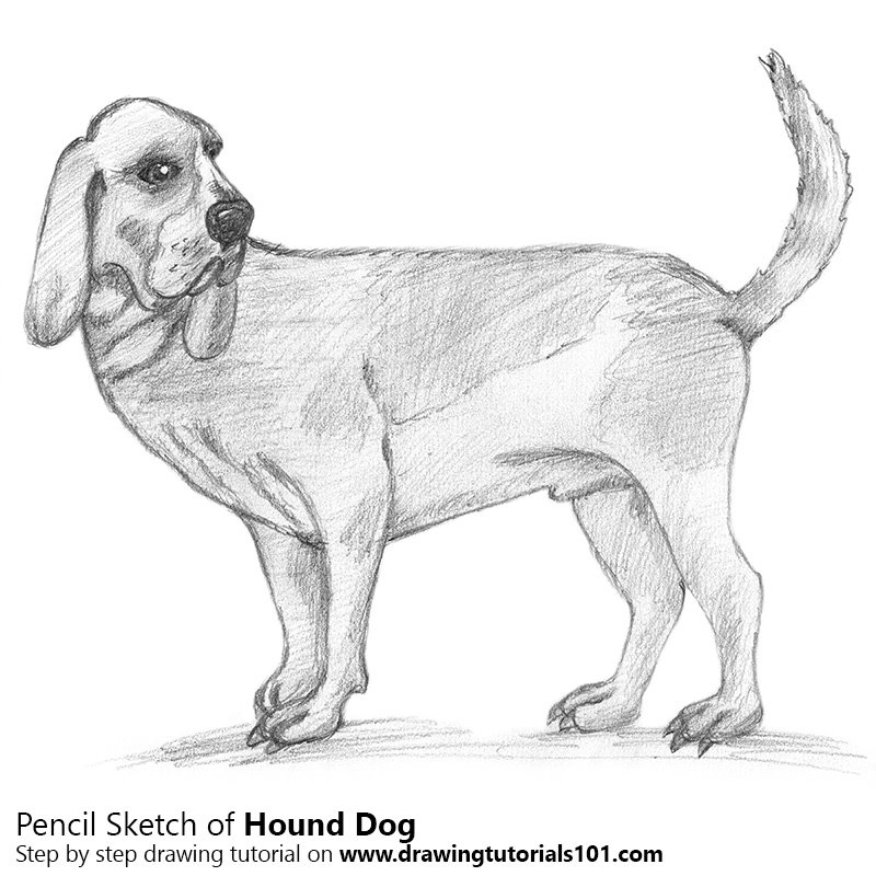 Hound dog pencil drawing how to sketch hound dog using pencils drawingtutorials101 com