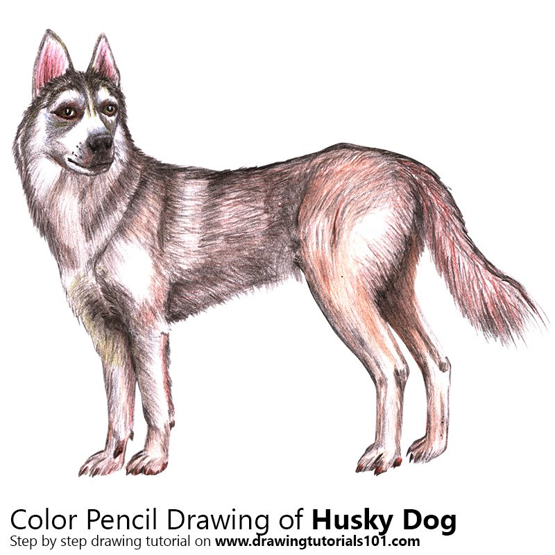 Husky Colored Pencils Drawing Husky With Color Pencils