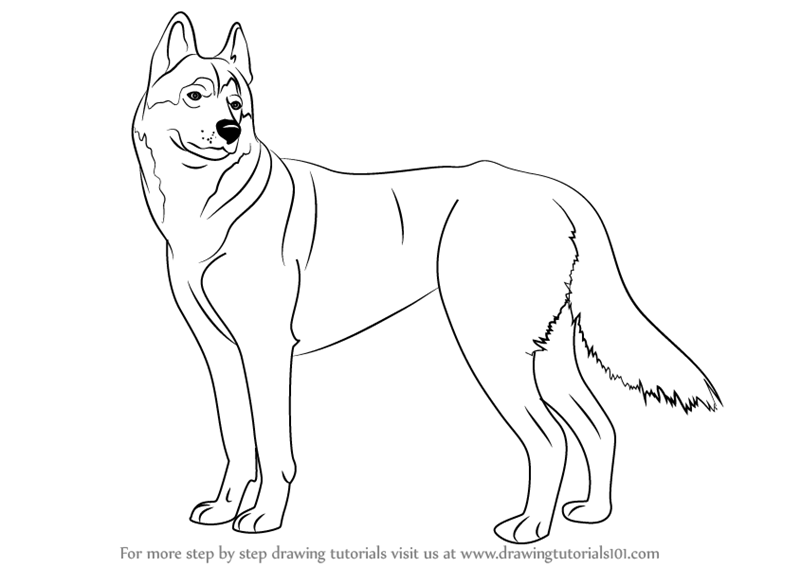 How To Draw A Husky Dog Free Download Oasis Dl Co