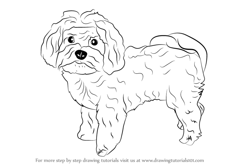 learn how to draw a maltese dog dogs stepstep