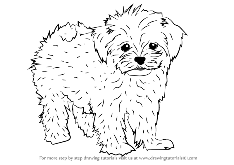 Step by Step How to Draw a Maltese