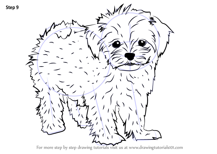 Learn How to Draw a Maltese Dogs