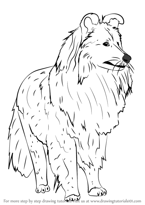 Learn How To Draw A Shetland Sheepdog Dogs Step By Step Drawing
