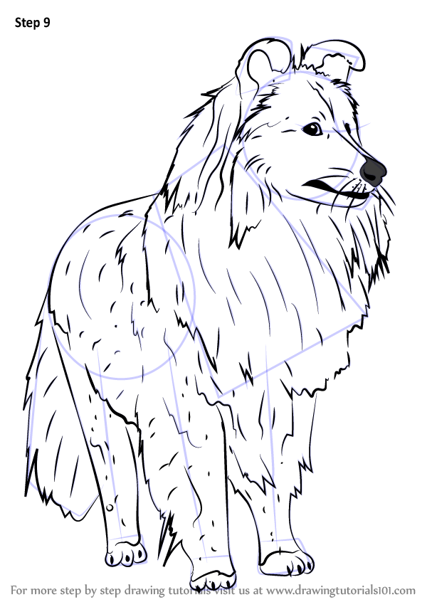 Step By Step How To Draw A Shetland Sheepdog