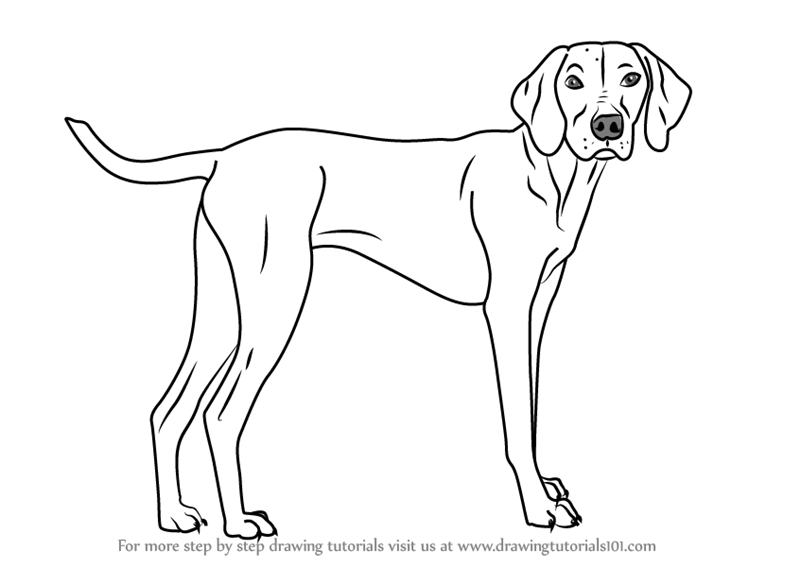 learn how to draw a vizsla dog dogs step by step drawing tutorials